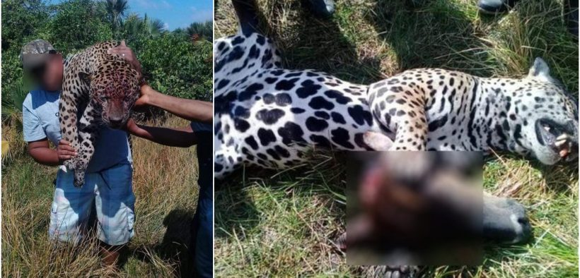 El jaguar fue sorprendido alimentándose con un ternero